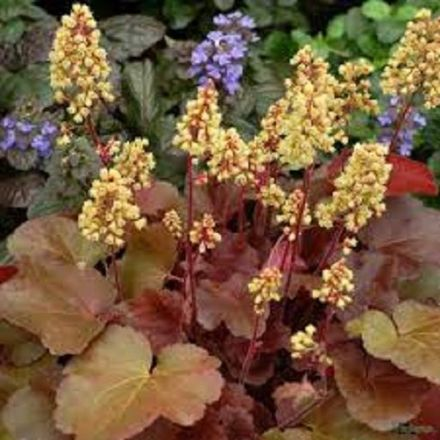 Heuchera Little Cutie Blondie